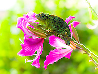 A female Jackson's chameleon rests on a pod of flowers on an orchid tree on the Big Island.