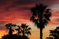 Texas Sabal Palm (Sabal texana), trees at sunset, Laredo, Webb County, South Texas, USA