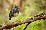 New Zealand Robin (Petroica australis) female, Kapiti Island, North Island, New Zealand