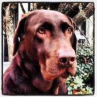 Chocolate Lab portrait, iPhone photo from the instagram photostream of bcpix, Florida-based freelance photographer Brian Cleary. (Photo by Brian Cleary/ www.bcpix.com)