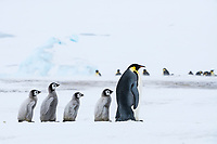 Snow Hill Island, Antarctica. Emperor penguin chicks follow the leader.