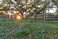 Texas Bluebonnet Landscape 2 - Another capture of this wood fence with bluebonnets, the oak tree at sunset which creates this wonderful wildflower landscape in the texas Hill country. The bluebonnet were growing in front of this wonderful old oak tree as the sunsets through the fence with these nice sun rays cast their light over the flowers. Spring is here and the bluebonnet is the first sign that it is here. We have traveled the backroads of the hill country always searching for good locations and today we found another good spot for the perfect texas bluebonnet landscape. In Texas the bluebonnet along with other wildflowers start coming out in the southern central part of the state first in Feb and slowly move north through May. Then we have the summer wildflower that start popping up but most consider the bluebonnet as the main attraction if we can find other flowers that even better but we gotta see the blue bonnets or we feel empty.