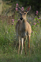 Early morning doe in late spring, with Purple Horsemint Wildflowers in the background.