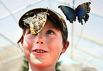 Mitchell Grimes, 7, of Greenwich, Conn. became a favorite perch for Morpho butterflies at the butterfly house at the Iowa State Fair Saturday, August 9, 2008.  He is visiting Iowa for a family reunion.  The butterfly house is filled with over 5,000 enormous, colorful tropical butterflies and patrons are allowed, even encouraged, to hold the butterflies, as long as they don't touch the wings.