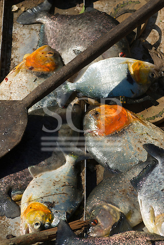Mato Grosso State, Brazil. Catch of pacu fish. Piranha.