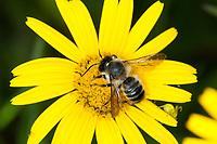 Blattschneiderbiene, Männchen, Blütenbesuch, Nektarsuche, Megachile spec., Blattschneiderbienen, Tapezierbienen, Mörtelbienen, leafcutter bees, leafcutter bee, leafcutterbees, leafcutter-bee, male