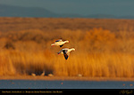 Snow Geese Flying into the Ponds at Sunset, Bosque del Apache Wildlife Refuge, New Mexico