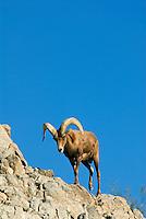 Desert Bighorn Sheep (Ovis canadensis nelsoni)