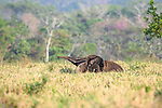 Female Giant Anteater (Myrmecophaga tridactyla) (sometimes called Giant Ant Bear) carrying infant on its back. Caiman Ecological Refuge, Southern Pantanal, Moto Grosso do Sul State, Brazil. September.