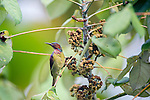 Brown-throated Sunbird (Anthreptes malacensis) feeding in the rainforest canopy. Lowland Dipterocarp rainforest, Danum Valley, Sabah, Borneo. September.