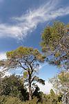Israel, Jerusalem Mountains. Aleppo Pine trees in Hamasrek reserve.