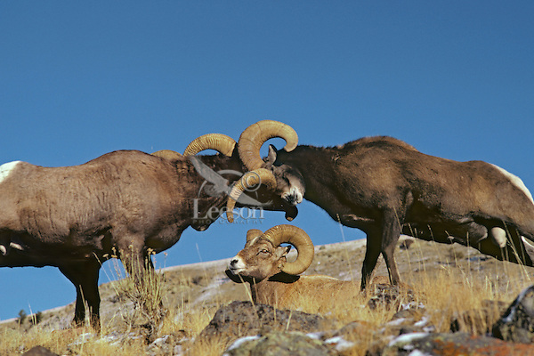 Two bighorn sheep rams butt heads as third ram looks on, Northern Rockies.  Fall.