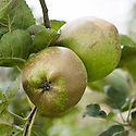 Apple 'D'Arcy Spice', mid September. An English dessert apple said to have been discovered at Tolleshund D'Arcy, Essex, in about 1785.