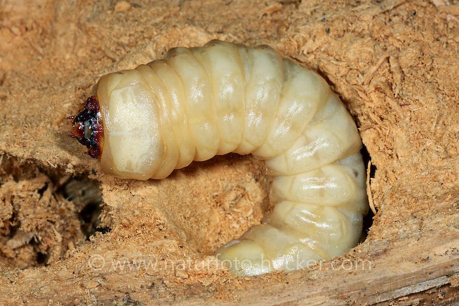 Mulmbock, Zimmerbock, Larve, Käferlarve, Engerling, Ergates faber, Carpenter longhorn, Long horned beetle, larva, larvae, grub