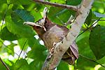 Adult crested owl (Lophostrix cristata) at daytime roost. Lowland rainforests near Cristalino Jungle Lodge, Cristalino State Park, Brazil.