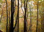 European beech Forest, Soderasen National Park, Skane, Sweden