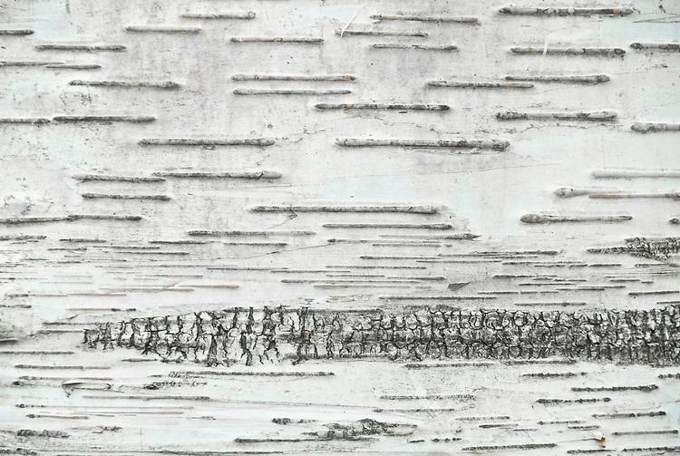 Bark of paper or canoe birch (Betula papyrifera).