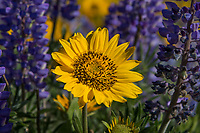 Balsamroot and Lupine wildflowers.  Early Spring (April) near Dalles Mountain Ranch, Columbia Hills State Park, WA.