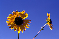 Two Large Sunflowers in Bloom