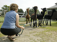 Barb Wille hoses down a group of alpacas Sunday, July 2, 2006, in Valley City, Ohio. Barb, who raises 23 alpacas with her husband Ed, say they have earned $200,000 since starting up in 1994 by selling alpacas, winning stud fees and housing 12 of the furry creatures for $3 a day.<br />