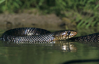Texas Indigo Snake, Drymarchon corais erebennus, adult swimming, Starr County, Rio Grande Valley, Texas, USA, May 2002