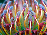 Close up of Protea flower.
