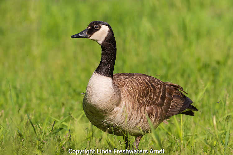 Canada goose in a northern Wisconsin field.