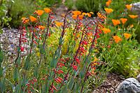 Penstemon centranthifolius, Scarlet Bugler, flowering native wildflower in Southern California Montane Botanic Garden