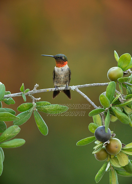 Ruby-throated Hummingbird (Archilochus colubris), male perched on Texas persimmon (Diospyros texana), Hill Country, Central Texas, USA