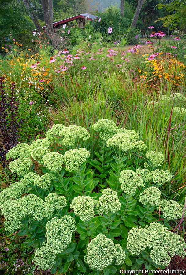 Vashon-Maury Island, WA: Sedum 'Autumn Joy' in a summer perennial garden with grasses, echinacea. crocosmia and cosmos.