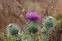 Spider webs and water droplets from dew and morning fog decorate bull thistle  flower heads along California's central coast.