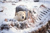 polar bear, Ursus maritimus, cub scavenging on bowhead whale bones, Balaena mysticetus, 1002 area of the Arctic National Wildlife Refuge, Alaska, polar bear, Ursus maritimus
