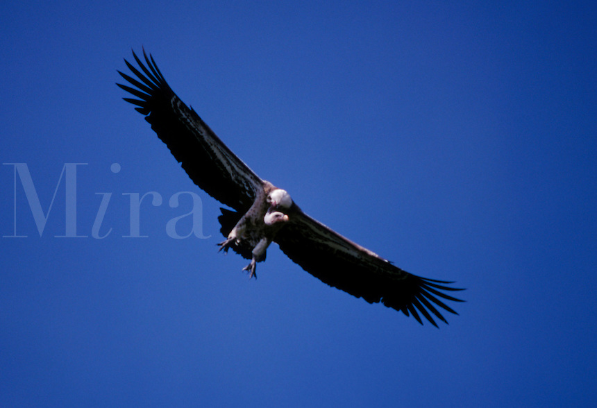 A VULTURE gracefully descends to a grizzly meal of carrion  in SERENGETI NATIONAL PARK - TANZANIA