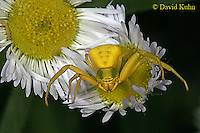 0903-06ww Crab spider - Thomisidae Genus - © David Kuhn/Dwight Kuhn Photography