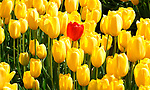 One loan red Tulip stands out among many bright yellow one's at Tulip Town in Mount Vernon, WA. during the Skagit county annual Tulip festival.