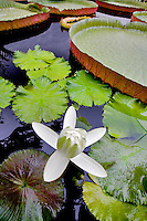 White Amazon tropical waterlily. Hughes Water Garden, Tualatin, Oregon