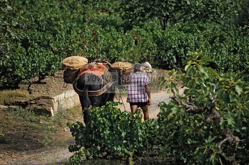 Europe/France/Languedoc-Roussillon/66/Pyrénées-Orientales/Environs Banyuls-sur-Mer: vendanges traditionnelles avec le mulet, AOC Banyuls [Non destiné à un usage publicitaire - Not intended for an advertising use]<br /> PHOTO D'ARCHIVES // ARCHIVAL IMAGES<br /> FRANCE 1990
