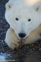 Polar Bear on the shore of the Beaufort Sea. Alaska Polar Bear Photography Prints