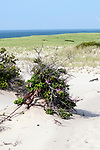 beach rose pink color phase growing on sand dune habitat, provincetown, Massachusetts, vertical