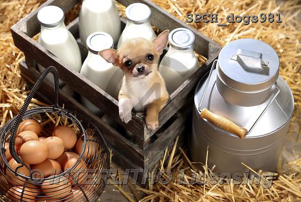 Xavier, ANIMALS, REALISTISCHE TIERE, ANIMALES REALISTICOS, dogs, photos+++++,SPCHDOGS981,#A#