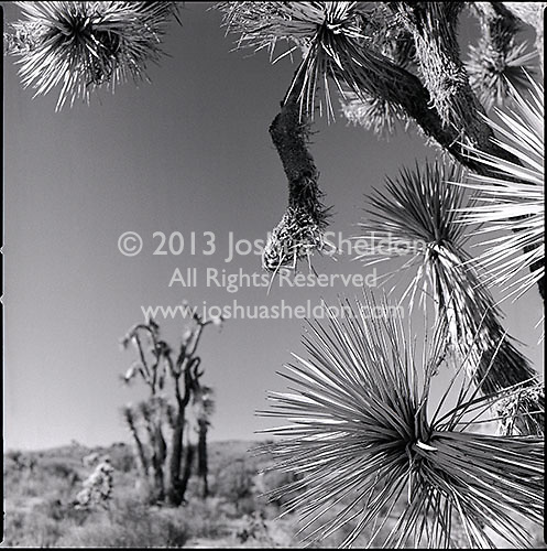 Joshua Trees<br />