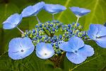 Vashon Island, WA<br /> Detail of a Hydrangea serrata, Blue Bird blossom