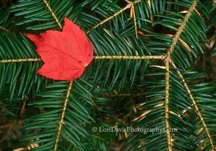 Fallen Red Leaf  #N44