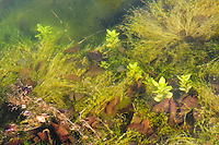 Photo taken through water of the aquatic plants living on a pond bottom.