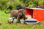 Chocolate Labrador retriever puppy and duck decoys