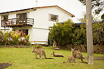 Eastern Grey Kangaroo (Macropus giganteus) mob in front yard during rainfall, Bawley Point, New South Wales, Australia