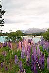 Lupins by Lake Tekapo, New Zealand