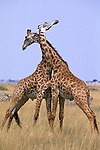 In Kenya's Masai Mara National Reserve, two male giraffes engage in a thirty-minute sparring match, delivering solid thumps to one another with powerful necks and bony heads.