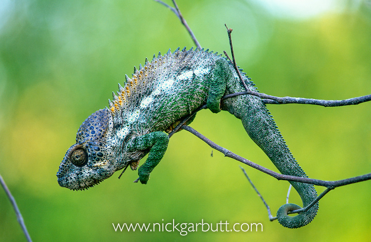 Male Warty or Spiny-backed Chameleon (Furcifer verrucosus) climbing on thin branches. Spiny forest, Berenty, southern Madagascar.