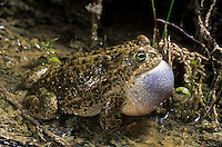 Kreuzkröte, rufendes Männchen, Schallblase, Kreuz-Kröte, Kröte, Bufo calamita, Epidalea calamita, natterjack toad, male, Natterjack, Crapaud calamite